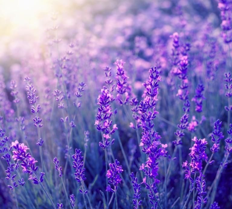 LavenderAbs