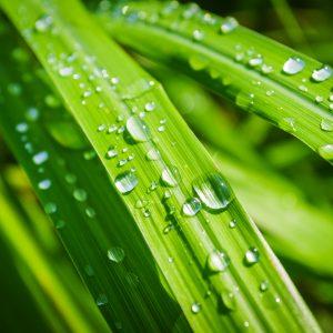 Lemongrass Oil Cochin | Suppliers of Quality Essential Oils | Equinox Aromas