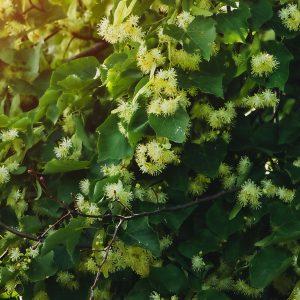 Linden Absolute | Organic Oil Supplier | Equinox Aromas