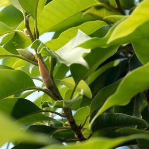Magnolia Leaf Oil China | Essential Oil Supplier | Equinox Aromas