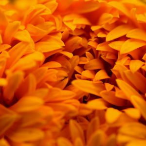 Marigold Absolute Egypt | Natural Cosmetics Supplier | Equinox Aromas