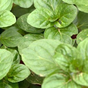 Mentha Citrata USA | Essential Oils and Flavour Chemicals | Equinox Aromas