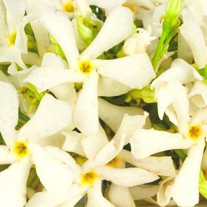 Neroli Oil Tunisian   Precious Oils and Absolutes   Equinox Aromas