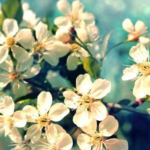 Orange Flower Absolute   Natural Oil Supplier   Equinox Aromas