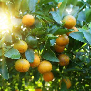 Orange Oil Sweet Florida | Buy Essential Oils & Infusions Online | Equinox Aromas