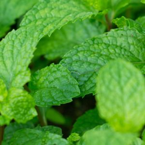 Peppermint Oil China | Essential Oil Supplier | Equinox Aromas