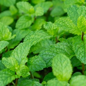 Peppermint Oil USA Mid West | Essential Oil Company | Equinox Aromas