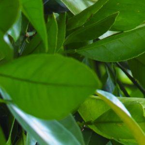Petitgrain Oil Paraguay | Essential Oil Company | Equinox Aromas