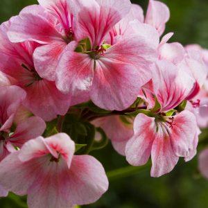 Rose Geranium Oil | Natural Perfumery Chemicals | Equinox Aromas