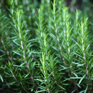 Rosemary Oil Tunisian | Flavour and Perfumery Chemicals | Equinox Aromas