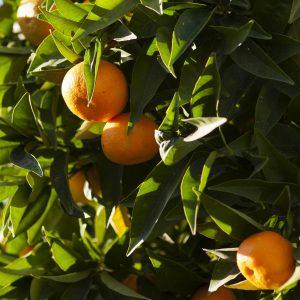 Tangerine Oil Brazil | Flavour and Perfumery Chemicals | Equinox Aromas