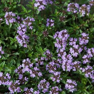 Thyme Oil Wild Balkans | Online Supplier of Flavour Chemicals | Equinox Aromas