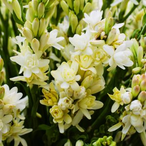 Tuberose Absolute French | Oils for Natural Cosmetics | Equionx Aromas