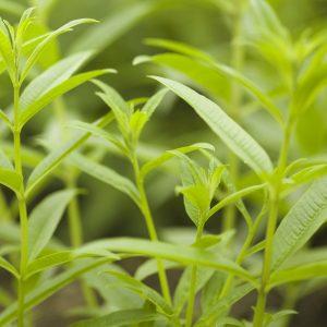 Verbena Oil Spain | Aromatherapy Oils | Equinox Aromas