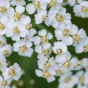 Yarrow Oil Blue Hungary High Azulene | Essential Oil | Equinox Aromas