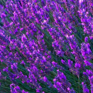 Lavender Oil French | Essential Oil Supplier | Equinox Aromas