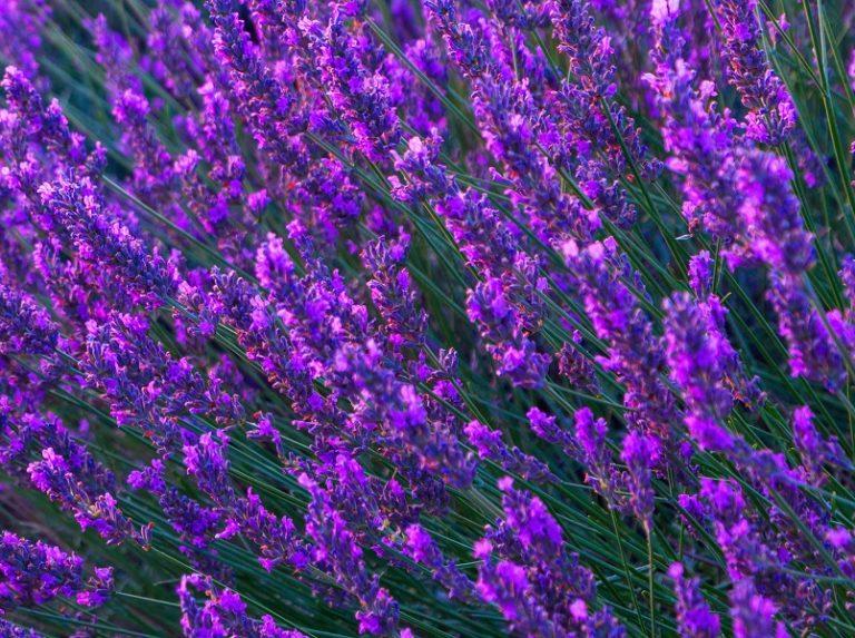 lavenderfrance