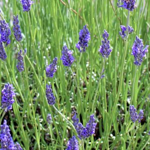 Lavender oil Spike Spain | Perfumery Chemicals and Oils | Equinox Aromas