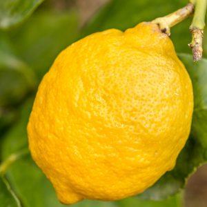 Lemon Oil Sicilian | Essential Oil Supplier Company Online | Equinox Aromas