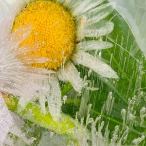 Chamomile Water | Natural Oil Supplier | Equinox Aromas