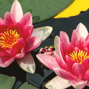 Lotus Absolute